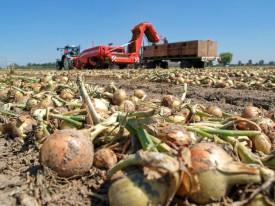 Organic onion pool
